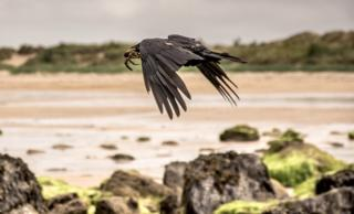 Took this of a crow and it's crab catch on Yellowcraigs beach today (Monday)