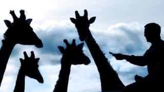 تصویر نویسندۀ گفتار در حال عذرخواهی از چهار زرّافه از بابت تشبیه زبان چل تکّهای و هفته بیجاری بعضی از نویسندهها و مترجمهای وسایل ارتباط جمعی به «شترگاوپلنگ»