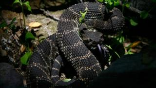 Rattlesnake (file photo)