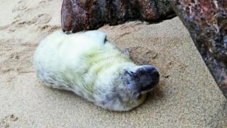 One week old seal pup, Snoozy