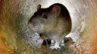 चूहों