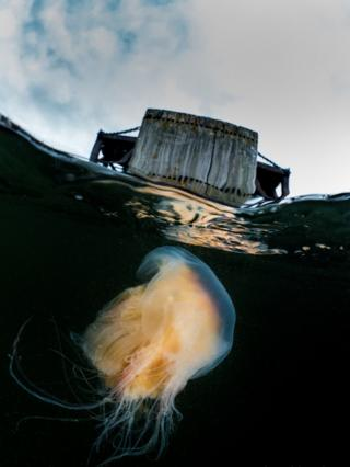 I thought you might like this image of a Lions Mane Jellyfish, taken yesterday under the abandoned pier at Inverkip. We had a lovely evening dive around the pier and there were plenty of Jellyfish when we surfaced