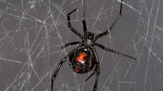Black widow spider web gives up DNA secrets
