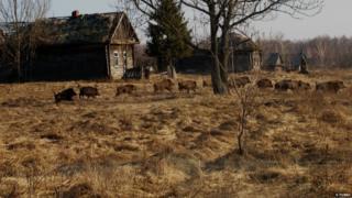 Wild boar in Chernobyl exclusion zone (c) Valeriy Yurko