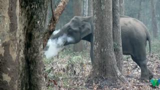 Smoking elephant video