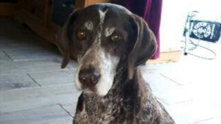 German shorthaired pointer Sky