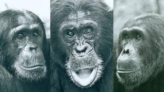 Três chimpanzés do Parque Nacional de Gombe nos anos 1970