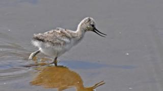 Avocet chick on Wader Lake