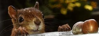 inquisitive red squirrel in Perth