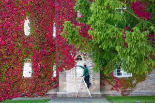 Gardener David Brown trimming the largest wall of Boston Ivy in the UK at St John's College Cambridge, 2 October 2019.