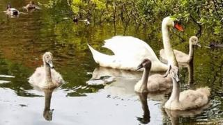 Swans family at Withybush Woods