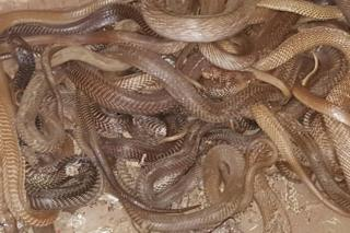The snakes were found in wooden boxes and gunny bags stored in the flat.