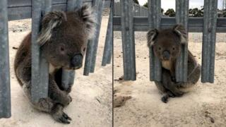 Koala with his head stuck