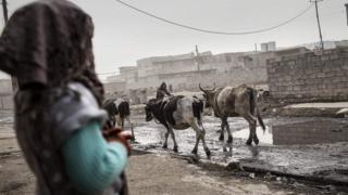 Vacas en un poblado en Qayyarah
