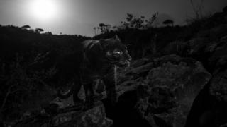 Siyah Leopar