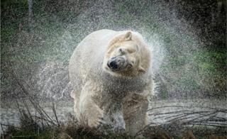in_pictures A polar bear shakes off water