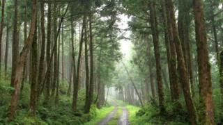 """أشجار يابانية عتيقة """"تتنبأ"""" بالمستقبل"""