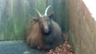 A brown goat in a garden.