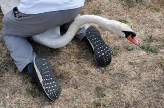 An official sits on a swan in order to count it.