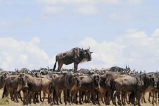 Wildebeest appears to stand on top of other wildebeests.