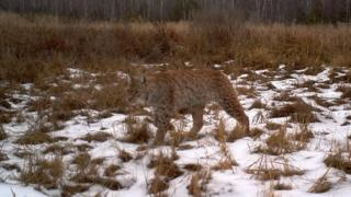 Lynx in the Chernobyl exclusion zone
