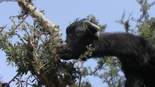Goat on a tree