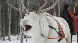 A white reindeer in Finland