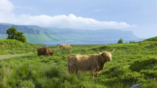Highland cattle on the Isle of Mull