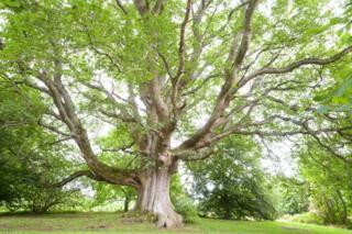 The Flodden tree