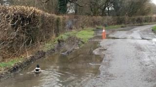 Duck in pothole