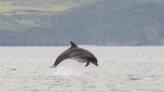 Dolphin in the UK