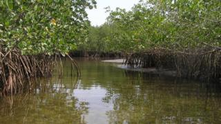 Healthy mangrove forest (Image: Mark Spalding)