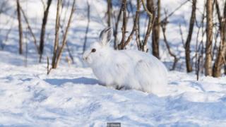 Thịt thỏ có chứa rất ít mỡ béo, khiến việc ăn chỉ món này sẽ khiến việc tiêu hóa trở nên khó khăn