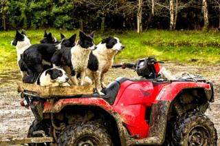 Sheep dogs in Tummel Valley