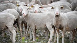 ஆடுகளை மாணவர்களாக்கி பள்ளியை மூட விடாமல் தடுத்த விவசாயி