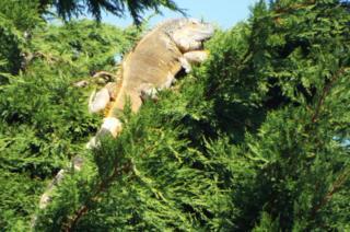 Iguana up a tree in Lowestoft