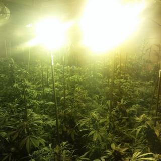 The cannabis haul found in North Pickenham, Norfolk
