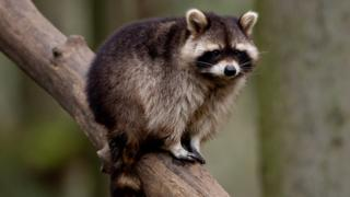 A raccoon in a zoo