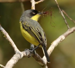 Common Tody-flycatcher, Todirostrum cinereum