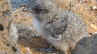 A sooty tern chick on Ascension