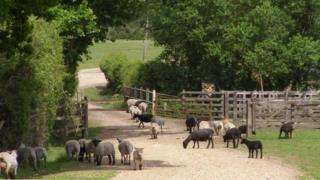 Sheep at Penn Common