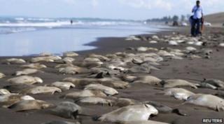 ปลากระเบนที่ตายแล้วจำนวนมากถูกคลื่นซัดมาเกยหาดแห่งหนึ่งทางตะวันออกของเม็กซิโก