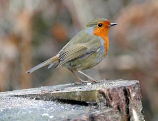 Robin at Morton Lochs, Tentsmuir Forest