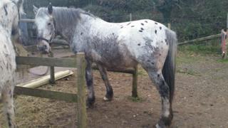 Apache the horse