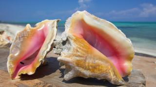 A close-up of conchs