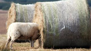 Sheep in hay bale