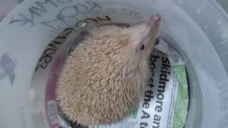 Burt the blonde hedgehog