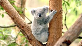 Koala at Taronga Zoo, Sydney, Australia