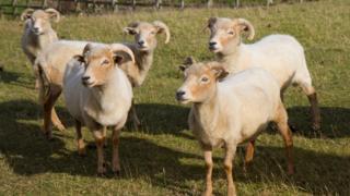 Портлендские овцы