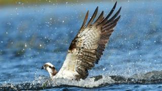 Pean the osprey